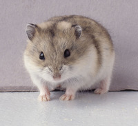 Winter_white_hamster